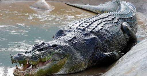 https://tourism.davaocity.gov.ph/wp-content/uploads/2018/10/Big-Beasts-Crocodi_2663561k-511x265.jpg
